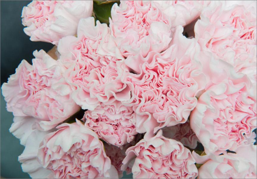 Carnation Light Pink