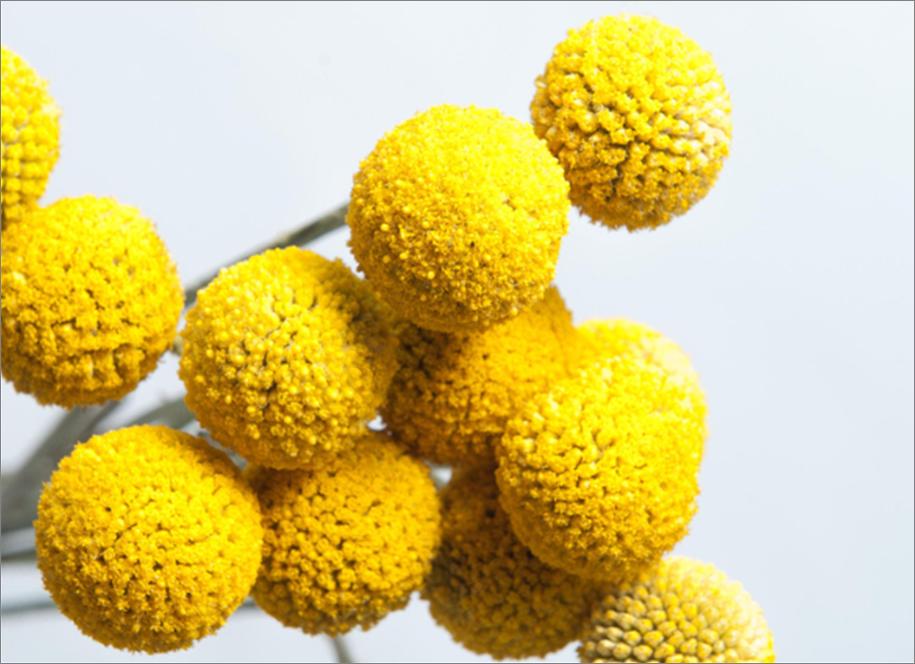 Craspedia Billy Balls Yellow