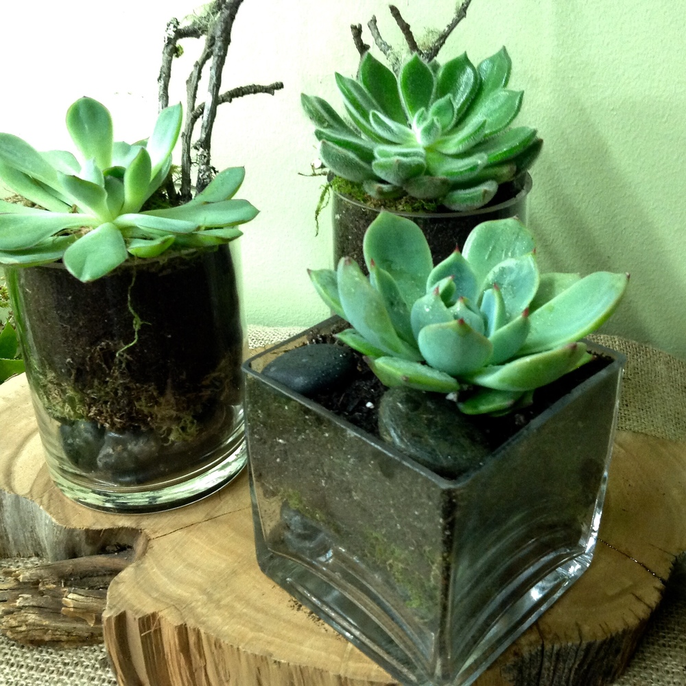 61. Trio of Single Potted Succulents in Glass