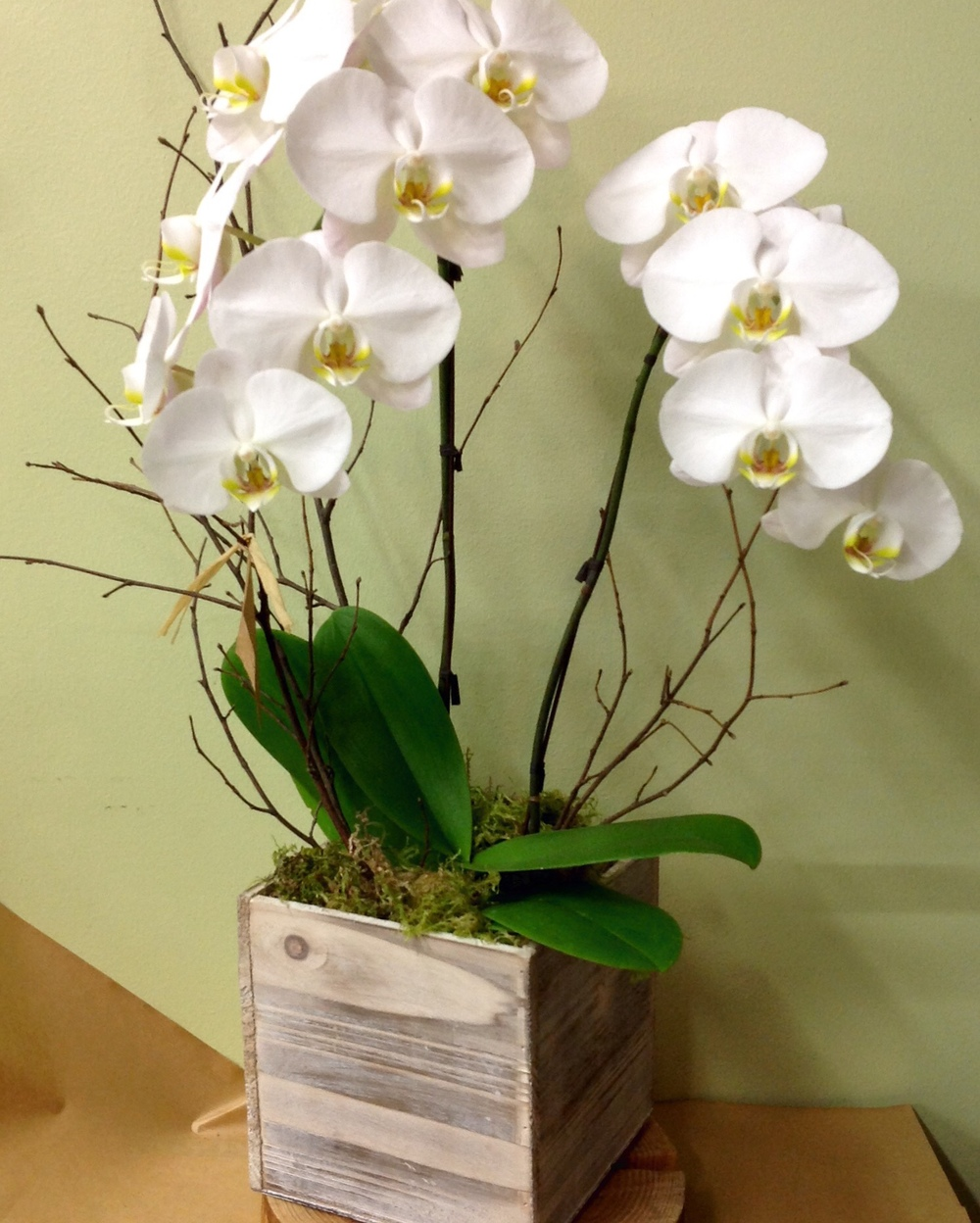 59. Double Phalaenopsis Orchid Plant in White