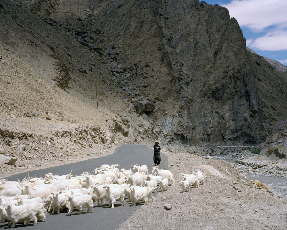 In the summer months, Changra goats are herded to lower altitudes where they can graze on pastures growing along the glacial rivers and streams.  Ladakh.