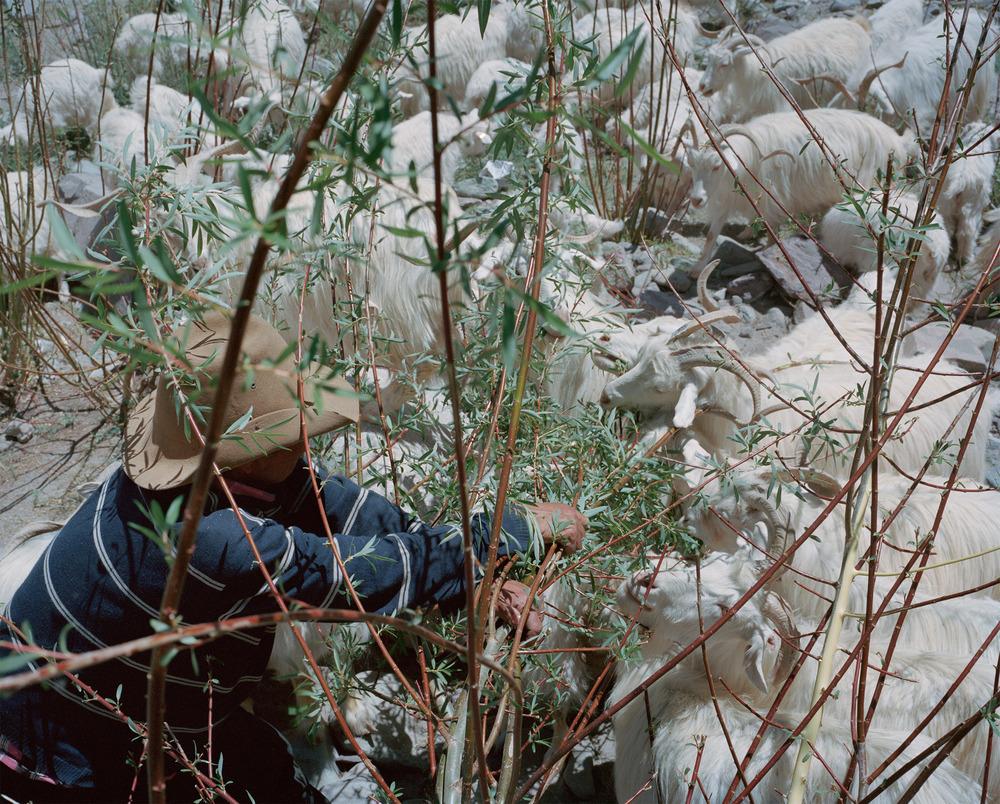 A shepherd helps his Changra goats