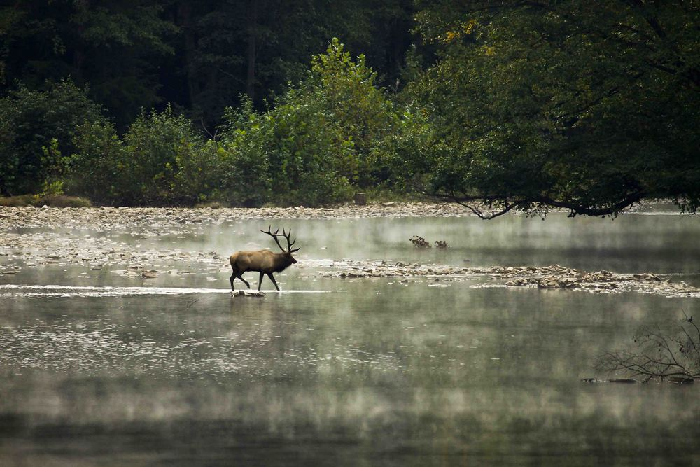 Bull Elk crossing stream.jpg