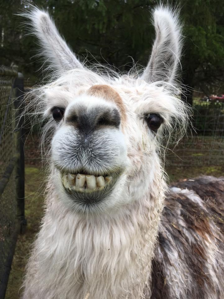 Come meet the camp llama