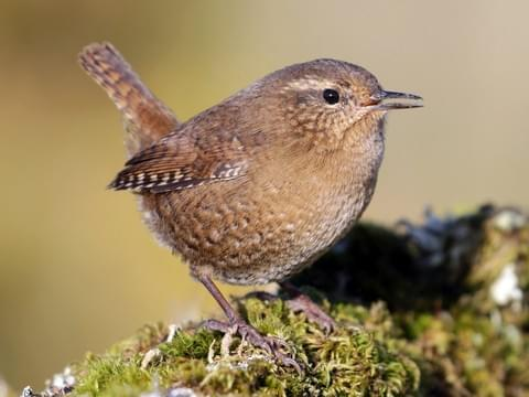 Pacific Wren — photo by Cameron Eckert, https://www.allaboutbirds.org