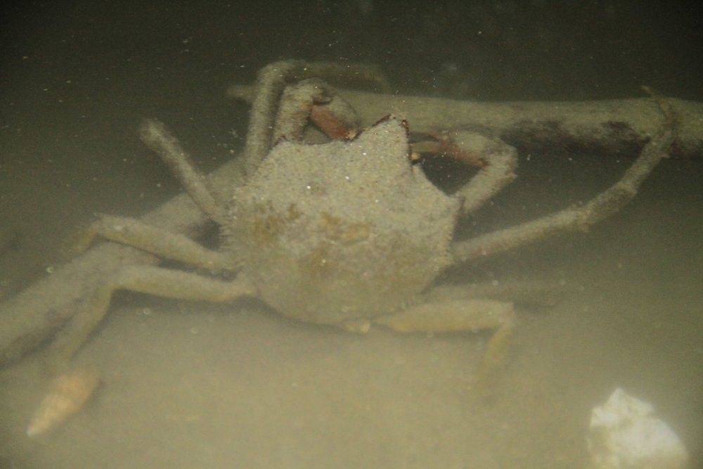 A KelP Crab explores underneath the pier. check out those long legs! Pick them up with caution: Their legs are quite sharp on the ends, and can pierce the skin.