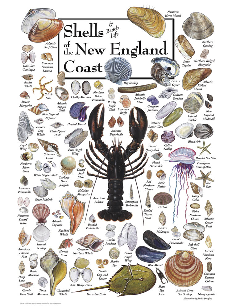 This poster from   Folding Guides   is a stunner, no? We have the brochure version in our beach bag. I'm fighting the urge to tick the shells off as we find them...