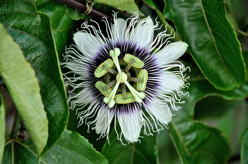 passiflora-flowers-nature-passion-40373.jpeg