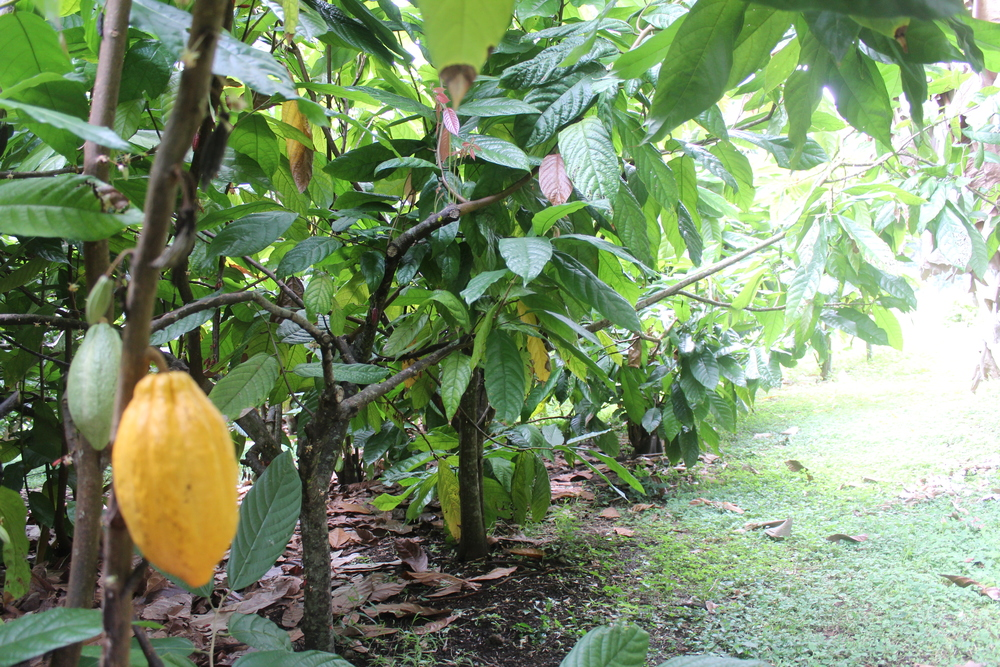 another view of the cacao grove
