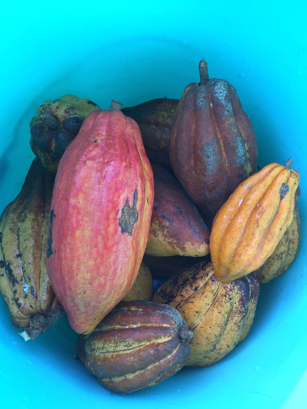 harvested cacao pods