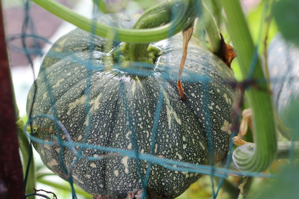 kabocha squash - not quite ripe