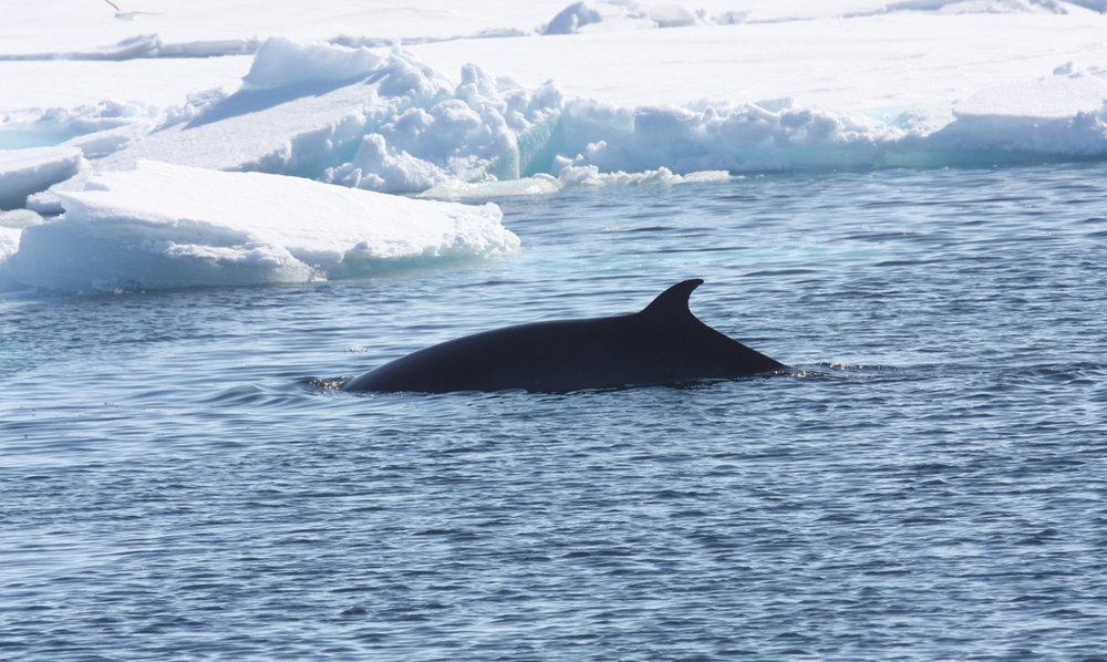 Minke whale.