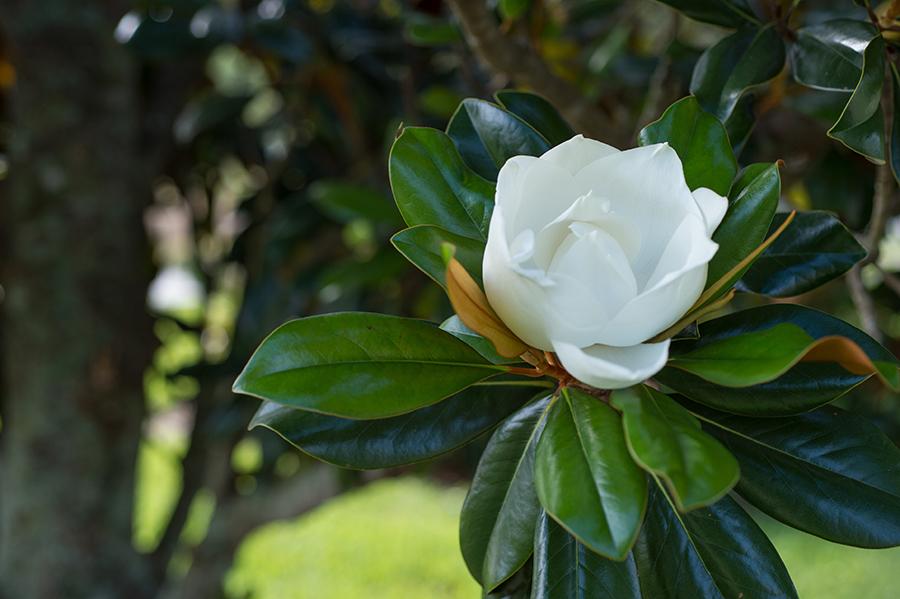 magnolia-web.jpg