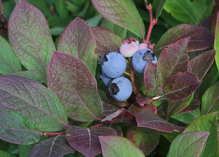 Vaccinium corymbosum blueberries by Will Stuart orig size-web.jpg