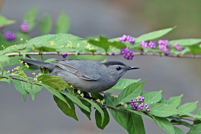 Catbird, Gray 2016-10-19 Chantillly_Jim Guyton-web.jpg