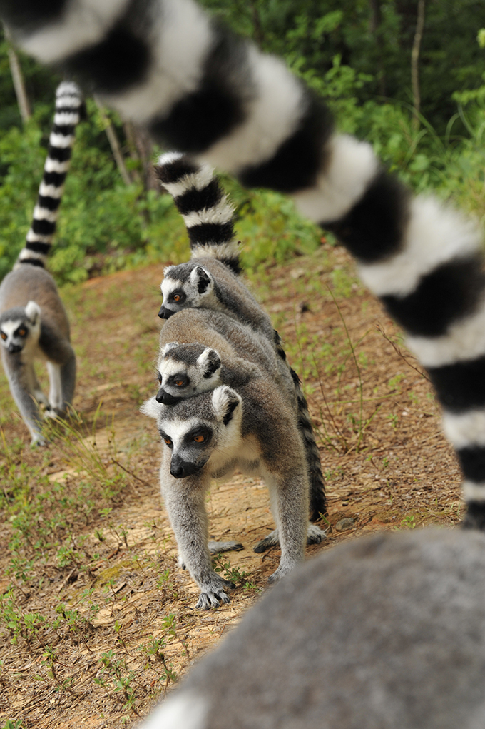 Ring-tailed lemurs troop photo by David Haring