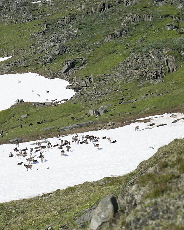 💛 Up in the mountains, I was quite isolated. No phone signal and no other company than an occational herd of reindeers🦌🦌 ::: As the heat from the sun was surprisingly intense, the animals had their own way of cooling down: Find a spot of snow, and stay there☀️❄️ ::: Far away from everything up here, these reindeer was shepherded from helicopers🚁 Pretty fascinating to watch and interesting to learn. ::: #narvikfjellene #reindeer #herding #pilgrimage #crosscountry #npl 🇧🇻👣