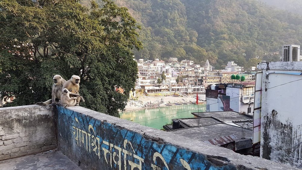 spiritual tours india - Rishikesh - monkeys.jpg