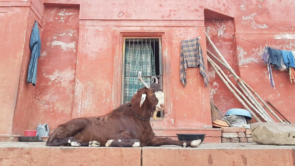 spiritual tours india - Rishikesh - goat.jpg