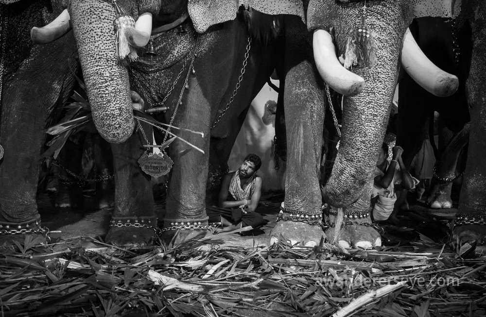 Elephants feast as their carer looks on, at a temple festival in Ernakulam, Kerala.
