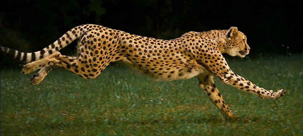 ec6dae614acb jpg  Cheetah