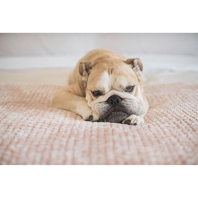 11 years old today! We are so lucky to have this amazing little guy in our lives. As usual, smiles are not his forté. ⁣⠀ ⁣⠀ ⁣⠀ #bulldogsofinstagram #bulldog⁣⠀