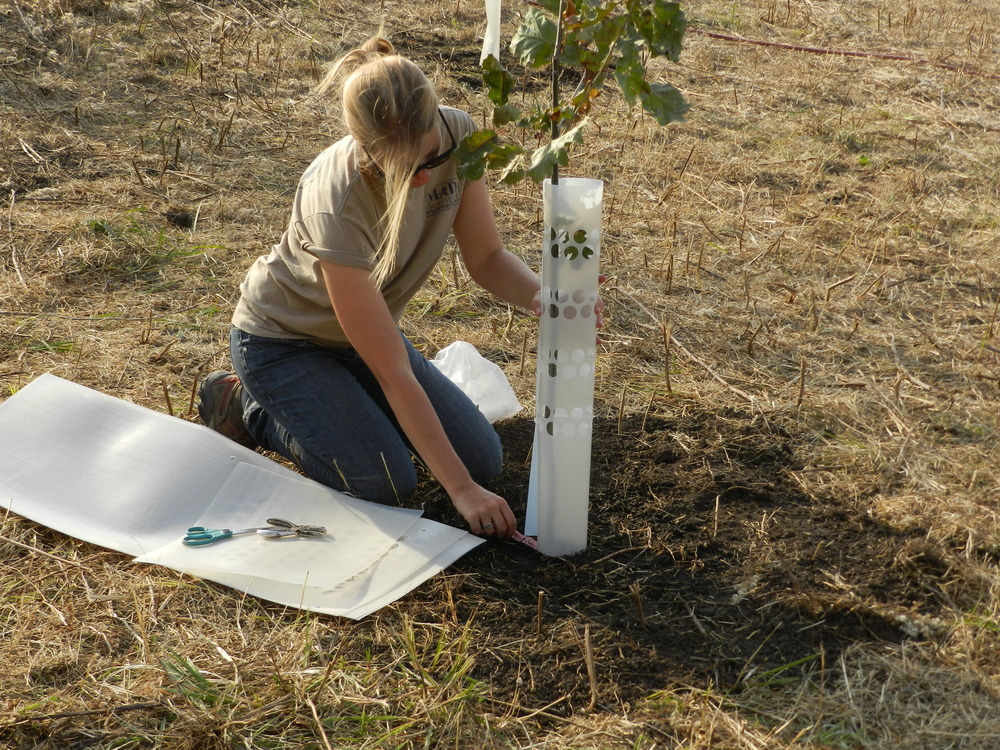 Attaching Tree Tubes to Protect Against Deer at Lost Creek.JPG