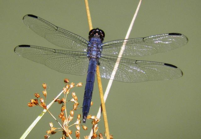 Slaty-skimmer-dragonfly