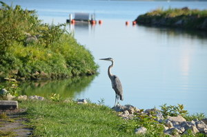 Great Blue Heron - MAD Ecological Species