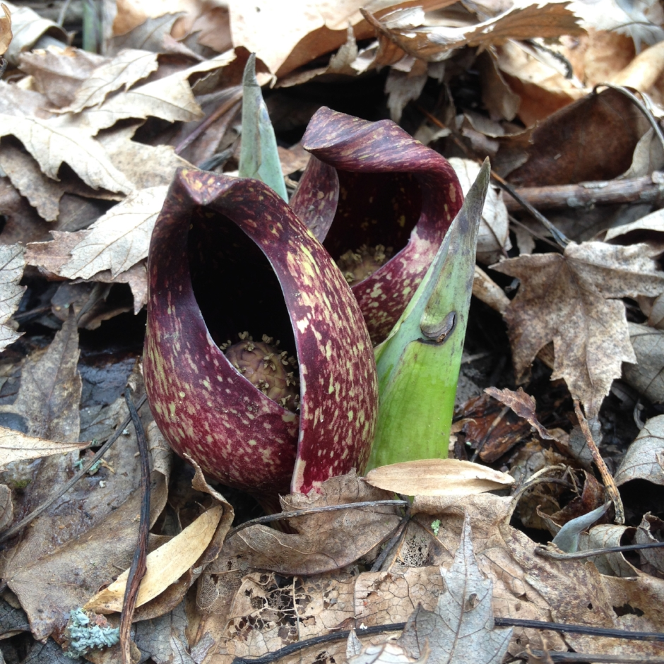 Skunk Cabbage ( Symplocarpus foetidus ) in bloom. Photographed by Jenny Adkins in a Crawford County vernal pool on February 22, 2017.