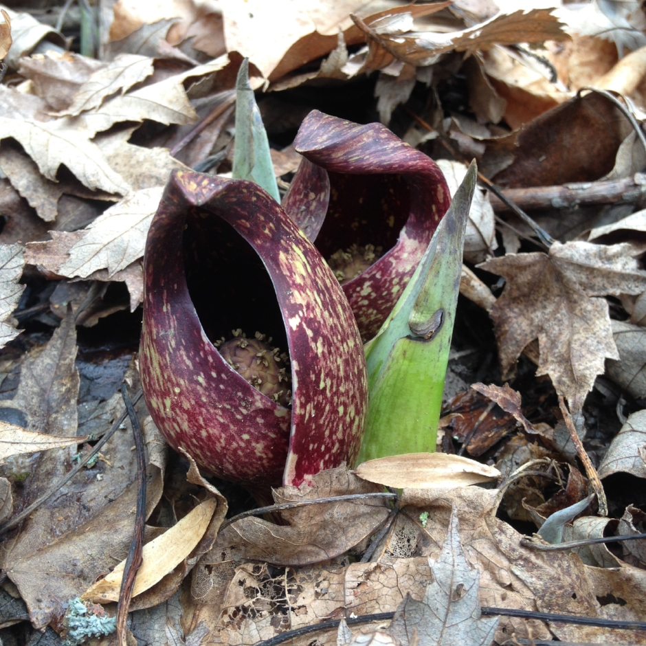 MAD_Skunk_Cabbage.jpg