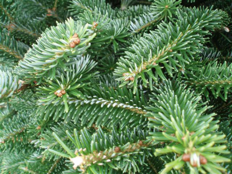 Fraser-Fir-Needles-Close-up-1.jpg