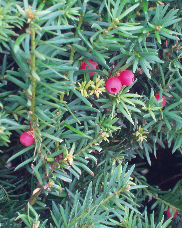 Taxus brevifolia  T.jpg