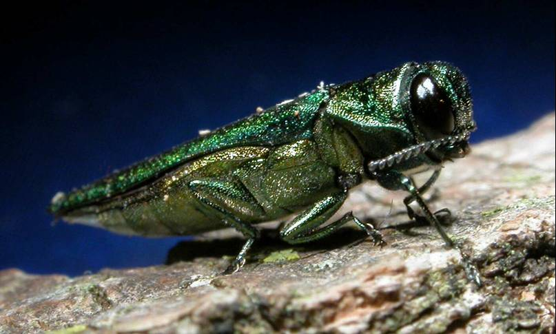 In this photo, an emerald ash borer is pictured. The emerald ash borer, a small green beetle from East Asia that's larvae burrow beneath the bark of ash trees to feed, has been disrupting ecosystems in North America since it first appeared in port cities like Detroit in 2002. (USDAgov/Flickr)