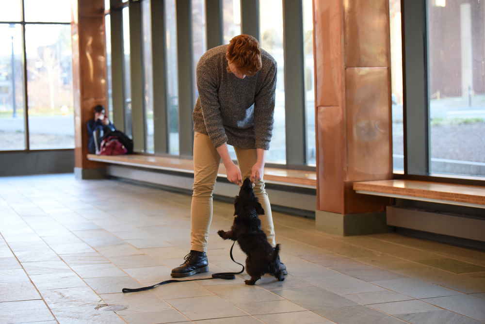 A student leans over to play with a dog in Laurel Hall. Dogs and other animals are proven to reduce stress and will be used in a new student initiative called Ruff Day for animal therapy. (Zhelun Lang/Daily Campus)