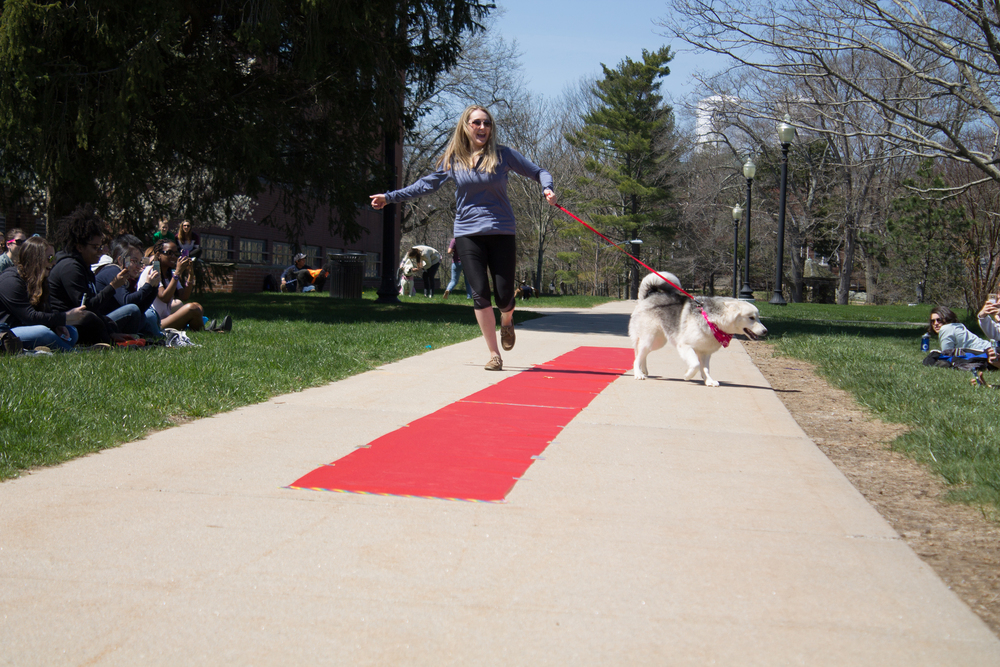 A student walks her dog down a red carpet next to UConn's Great Lawn during the UConn Dogspotting Club's first annual dog show on Sunday, April 24, 2016. (The Daily Campus)