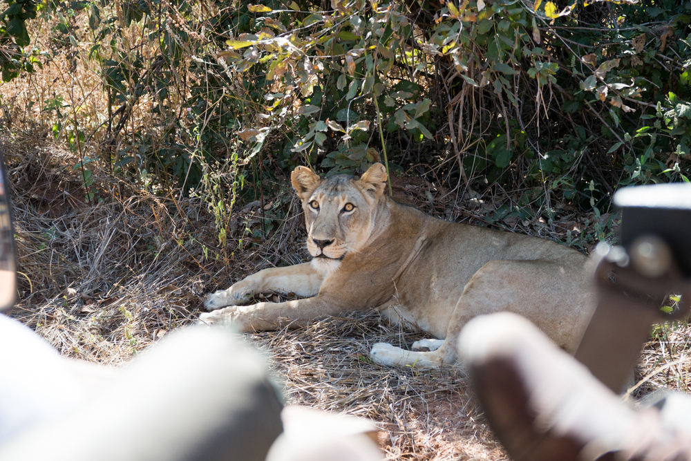 A lioness relaxes in the shade and watches a safari group pass by. (Amar Batra/Daily Campus)