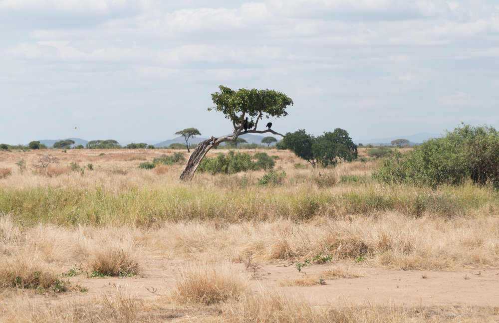 A lone bird watches the surrounding plain. Ruaha is home to over 450 different kinds of birds. (Amar Batra/Daily Campus)