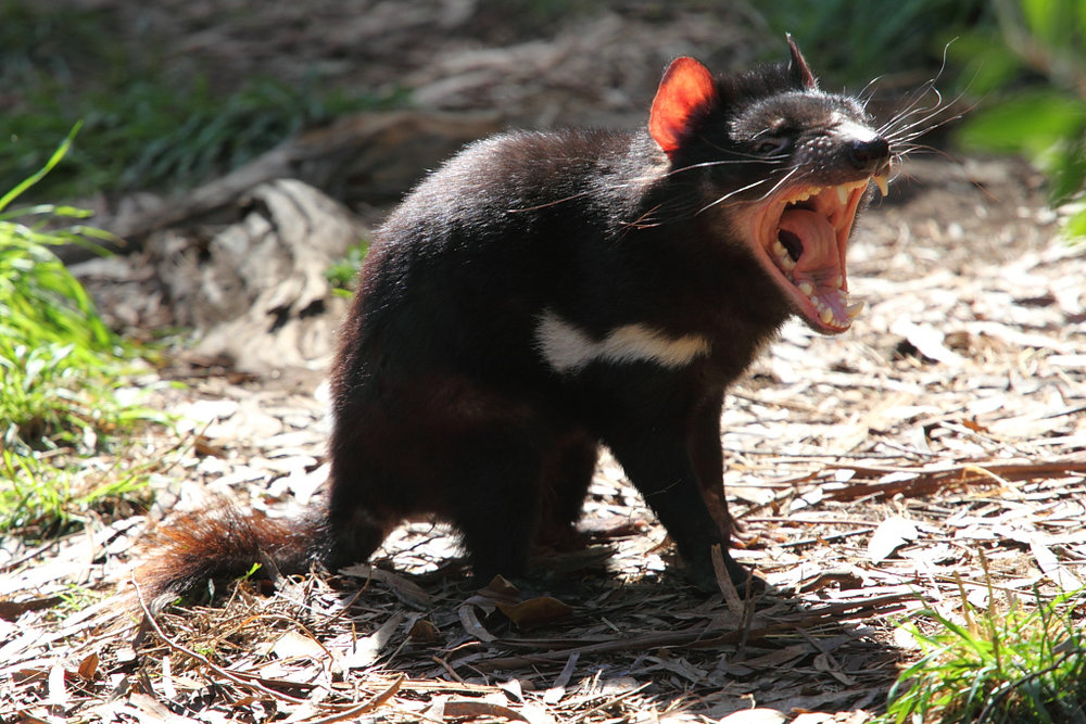 The Tasmanian devil is one of a few animals that is evolving to fight cancer. Research of this evolution trait could one day help scientists cure cancer in humans. (Chen Wu/Flickr)