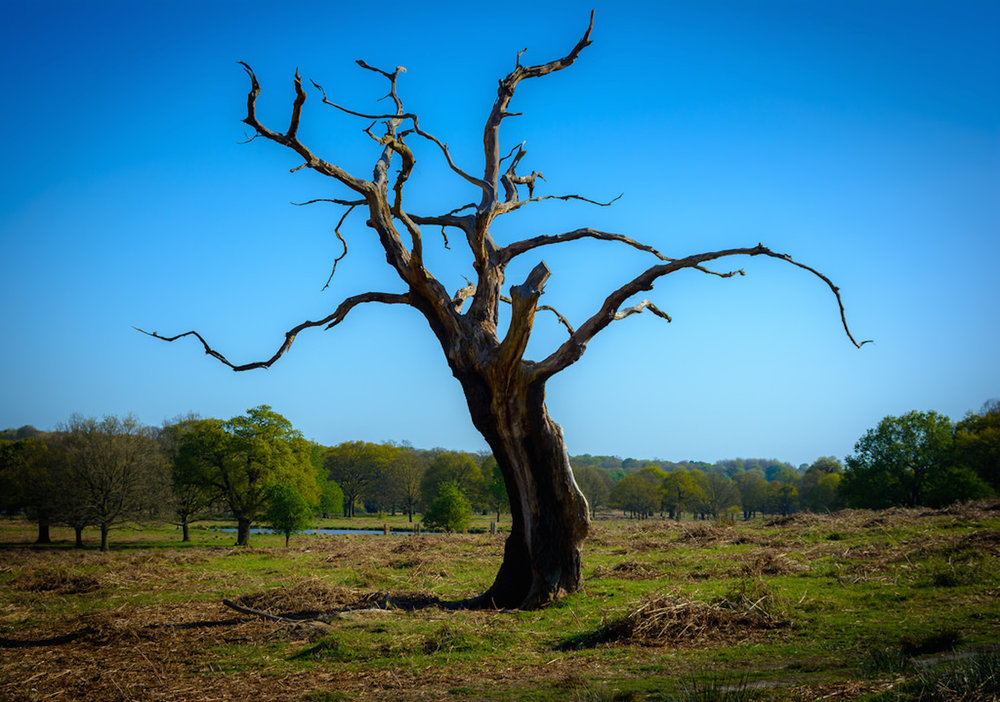 A dying tree. (Rowan Gillette-Fussel/Flickr Creative Commons)