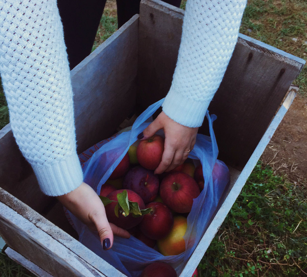 The writer and our Associate Life Editor headed to Wright's Orchard to pick up the main ingredients for their dishes. Apple picking is a great way to get into the fall spirit. (Megan Krementowski/The Daily Campus)