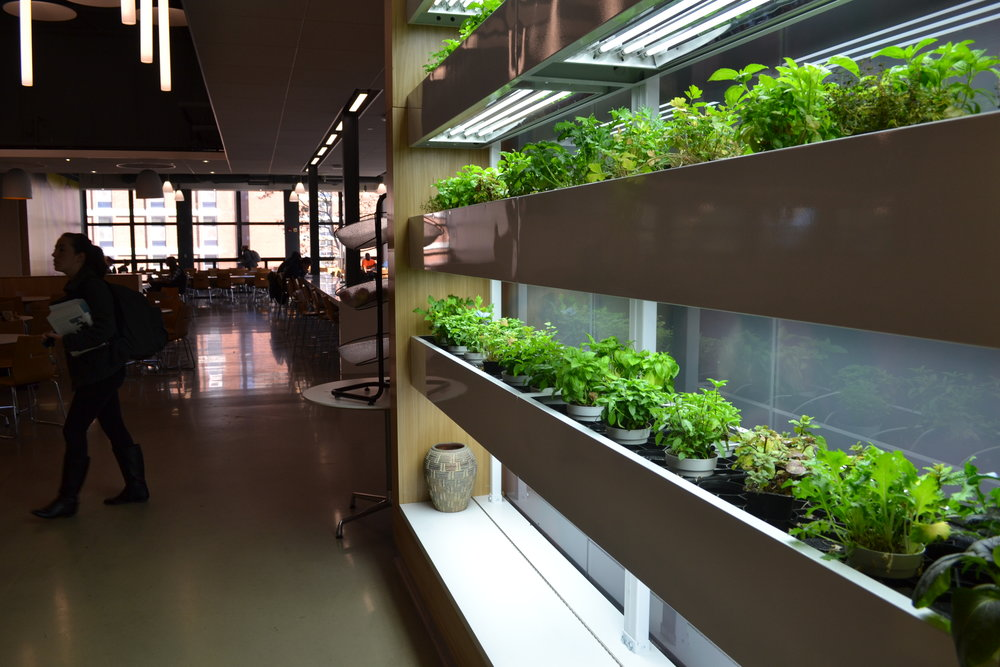 The UConn Dining Services recently won an Environmental Award. The Putnam Dining Hall was redone over the summer and is now Green Restaurant Certified. One of Putnam's new features is this Living Grow wall with herbs that will be used in dining hall recipes. (Olivia Stenger/The Daily Campus)