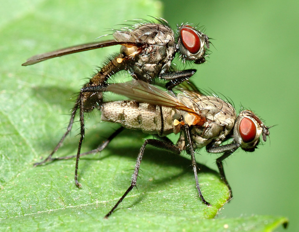 Small flies of the family Anthomyiidae getting down and dirty. (André Karwath/Wikimedia Creative Commons)