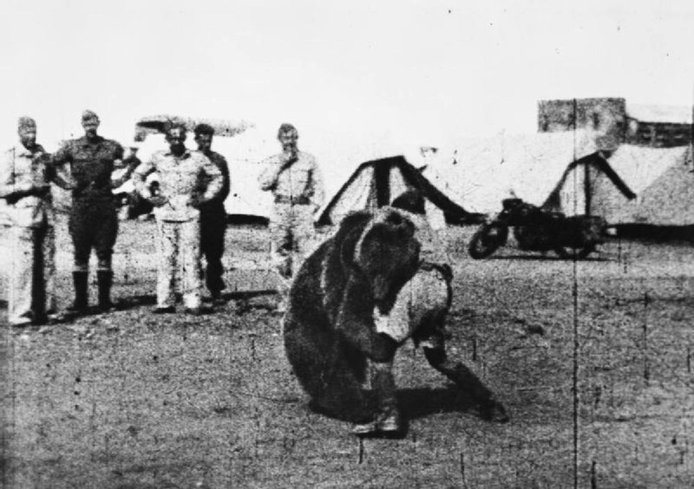 Troops of the Polish 22 Transport Artillery Company (Army Service Corps, 2nd Polish Corps) watch as one of their comrades play wrestles with Wojtek (Voytek) their mascot bear during their service in the Middle East. (Wikimedia Creative Commons)