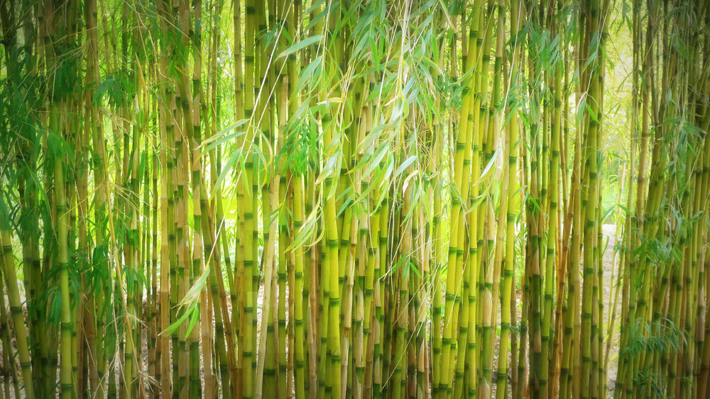 Bamboo is one of many eco-friendly, sustainable materials that can be used instead of cotton for clothing. (Henry Burrows/Flickr Creative Commons)