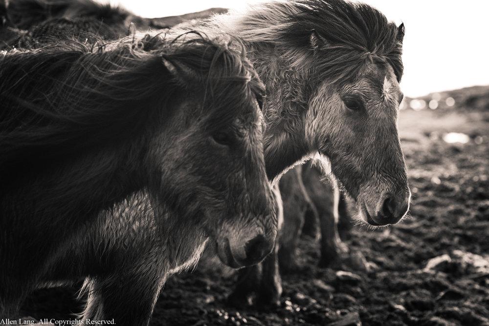Horses en route to Stokksnes