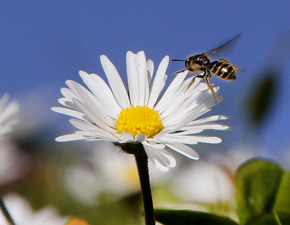 In this March 28, 2017 file photo, a bee flies over daisies in a park in Frankfurt, Germany, As weather forecasts predict sunny weather for most parts of Germany. In what scientists call a clear sign of a warming world, Earth's temperatures in March were the most above normal on record without an El Nino spiking temperatures. (Michael Probst, File/AP)