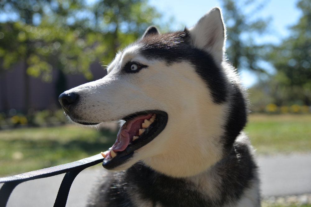 Jonathan XIV the Husky celebrates his birthday on Oct. 5, 2017. He is the goodest boy. (Amar Batra/The Daily Campus)