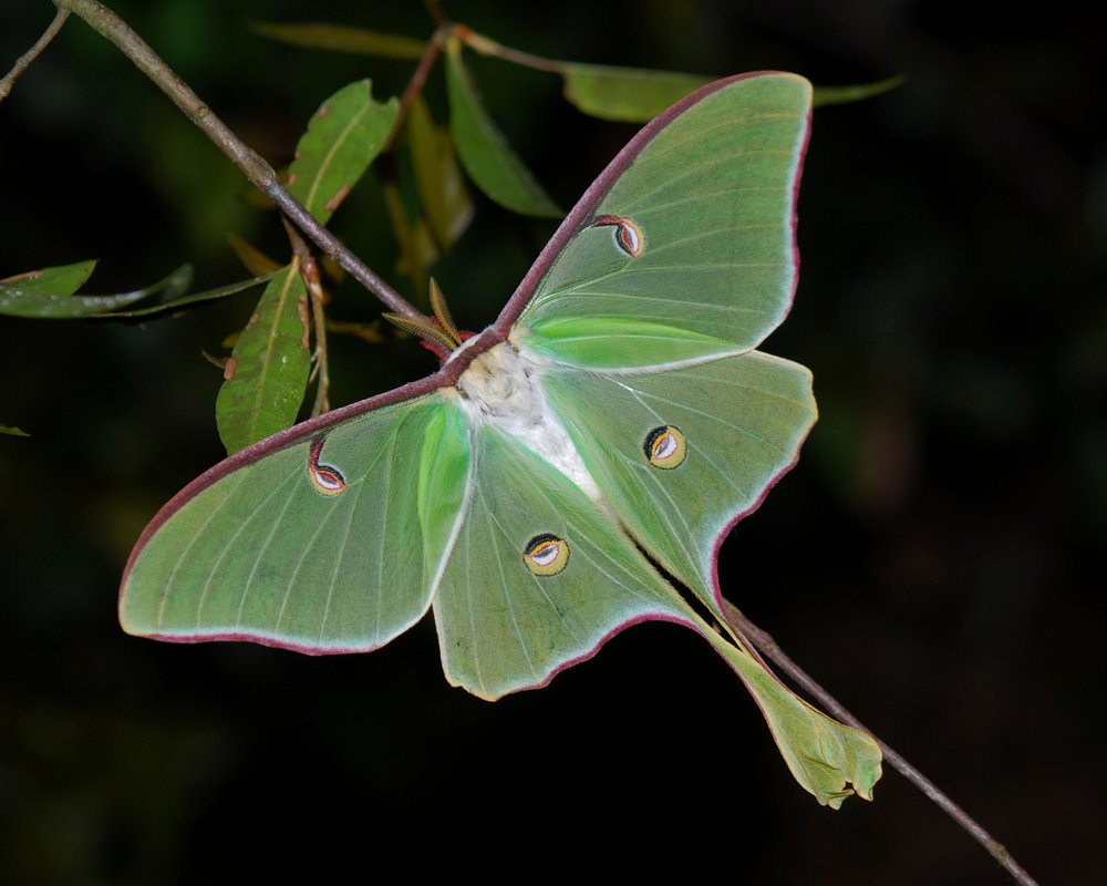 Luna moths, beautiful and characteristic with unique wings, overwinter in cocoons which are buried in the ground. The autumn leaf litter disguises their presence to keep them safe until they can emerge in the spring. (Geoff Gallice/Wikimedia Creative Commons)