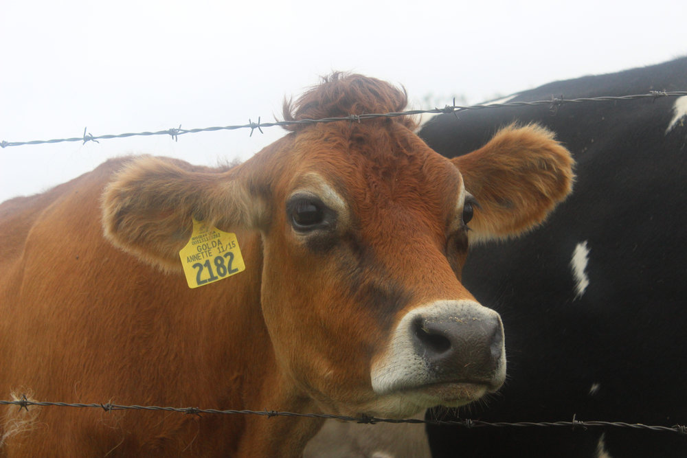 The elimination of methane production in cows helps against only one of the many environmental issues with the livestock industry. (Josh Stanavage/The Daily Campus)